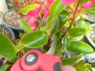 Pruning and taking begonia cuttings.