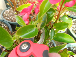 Pruning and taking begonia cuttings.