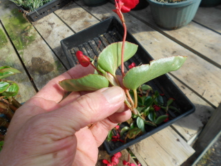 begonia tip suitable for rooting