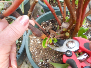 cleaning and pruning last year's begonias