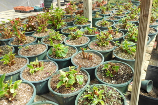 clean begonias ready to grow out for spring planting