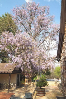A grand wisteria shows off with flowers in early spring
