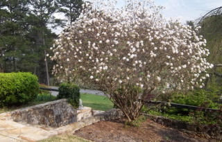 Viburnum at front entrance