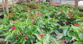 dragon wing begonias in the greenhouse