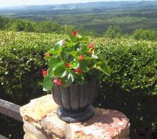 Dragon wing begonia in urn