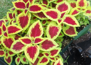 brilliant coleus for a color statement