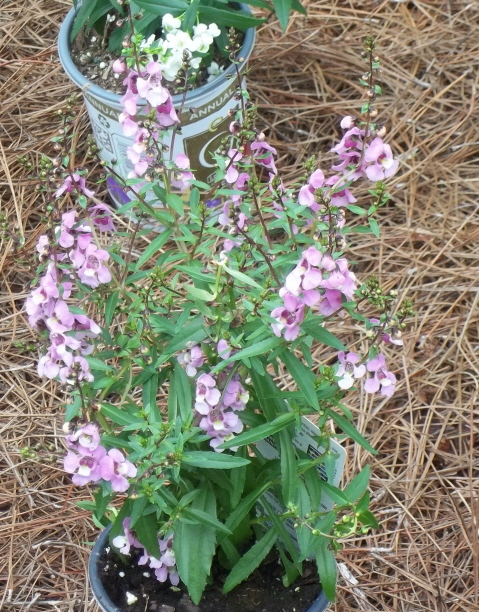 angelonia my new favorite bedding plant