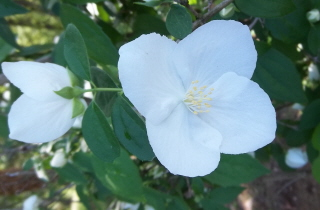 English dogwood/mock orange flower