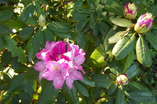 first rhododendron flower this year