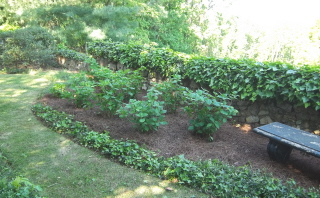 I planted hydrangeas to replace the funky looking laurels