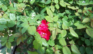 knockout roses starting to bloom too early for the event