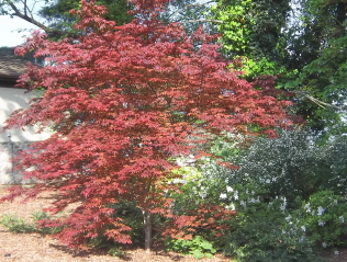 Palmatum Japanese maple with azaleas in the background