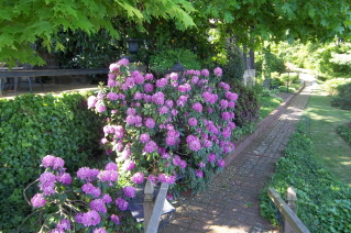 rhododendron on back brick pathway