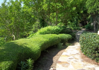 shaped yaupon holly for pathway border