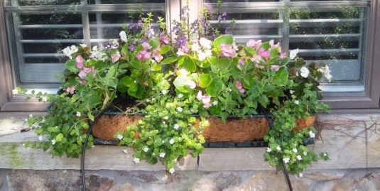 window box two weeks after planting