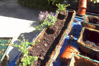 start planting the mixed container with low trailing plants
