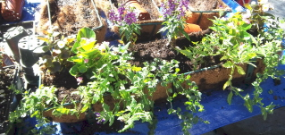5add bacopa and verbena for trailers and fillers