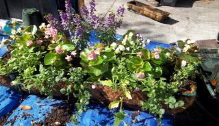 add angelonia for tall background and fill with begonias