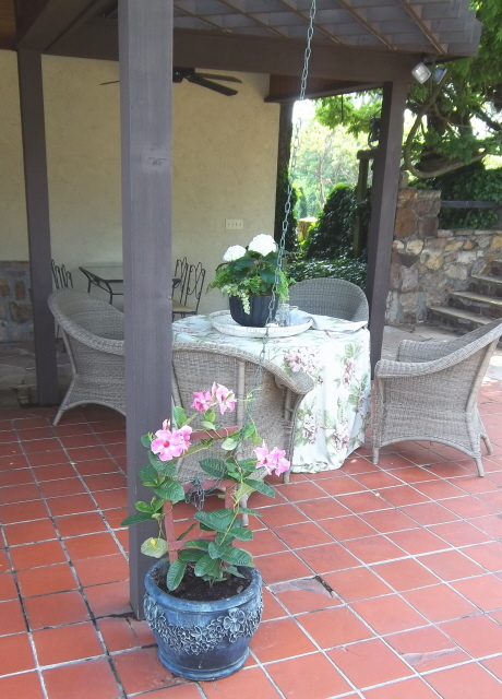 The mandevilla will reach the top of the trellis in a month.