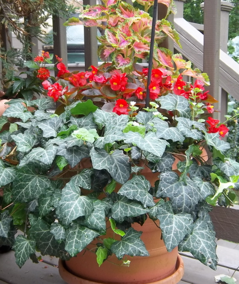container color 11--coleus, begonia, and ivy