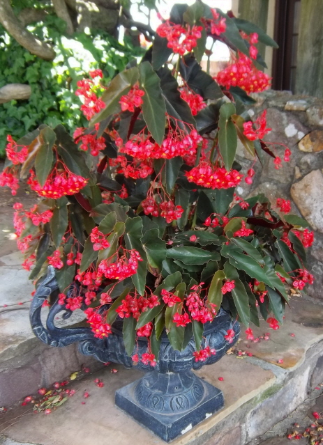 container color -Angel wing begonia in urn