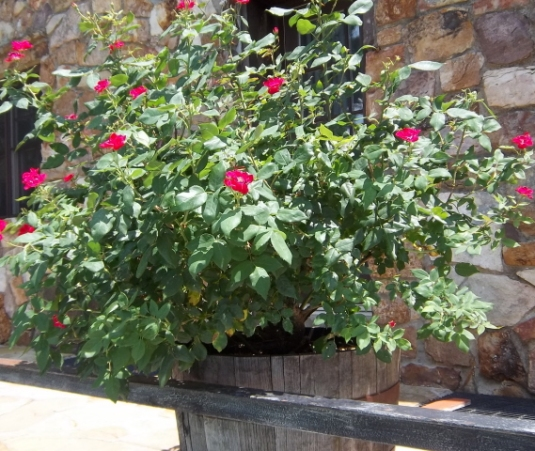 container color 3 knockout rose in a whisky barrel