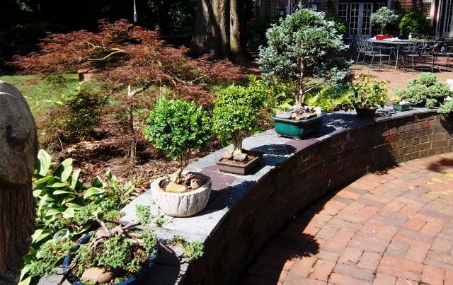 Container color 8-evergreen bonsais on the patio