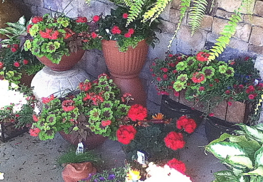 a grouping of containerized geraniums