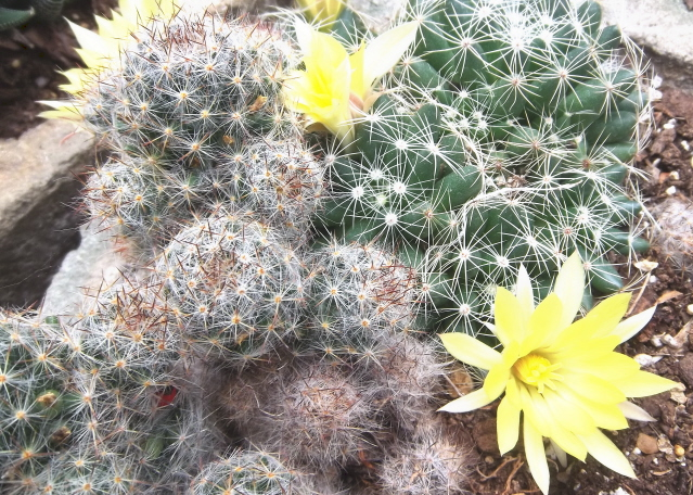 Cacti make interesting container gardens and may be kept through the winter in a bright location and treated with neglect. They will bloom year after year.