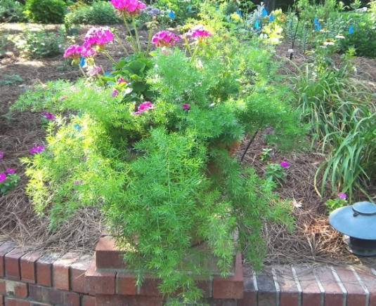 Geraniums and Asparagus fern do well together in a container with lots of light.