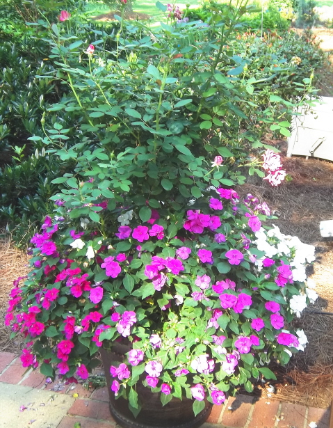 a tree formed rose with impatiens. The rose needs a bit if pruning, but nice, nevertheless.