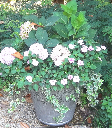 hydrangeas, impatiens, and variegated ivy in a mixed container for shade.