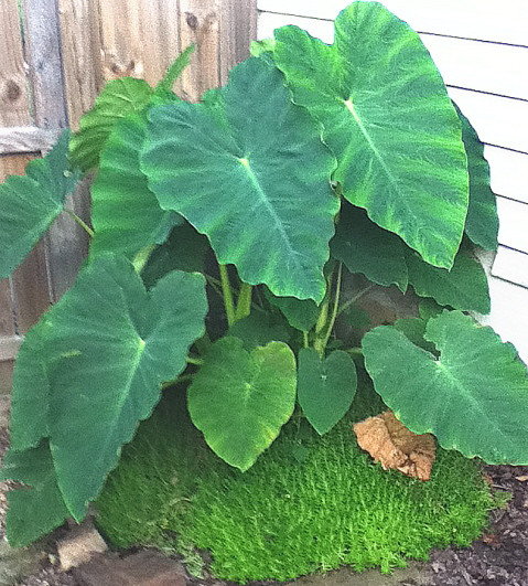 container growing out of bounds with elephant ear and sedum