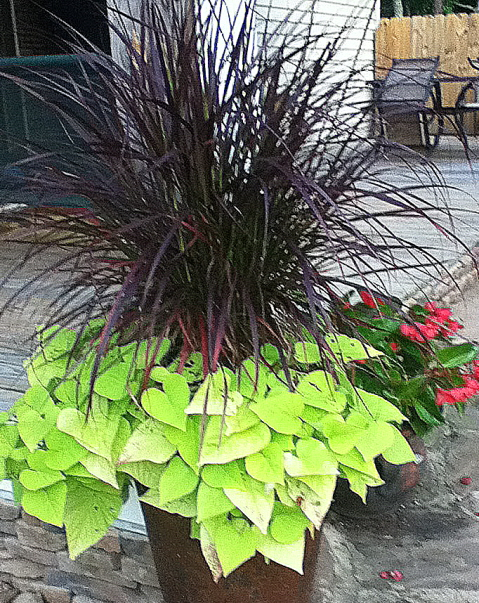 There are a number of annual ornamental grasses that will work in containers