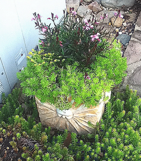 Sedums make excellent trailers and ground covers in and under pots.