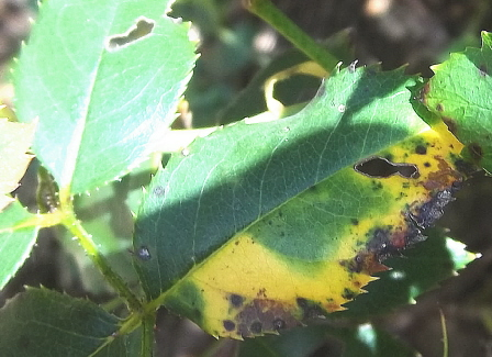 fungus damage on knockout rose leaf
