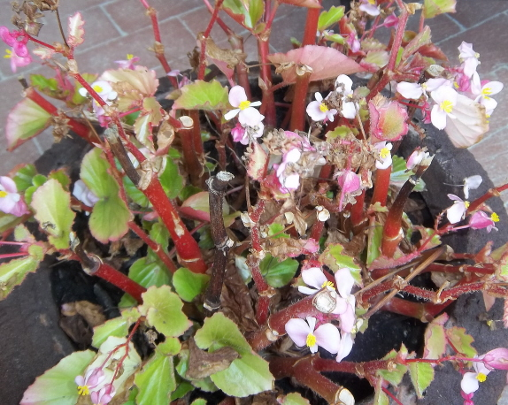 indications of fungus disease on a begonia plant