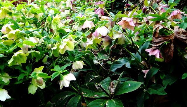 Lenten rose (helleborus)--The perfect plant for the shade garden