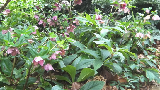 lenten roses will multiply over the years by seed, forming a colony