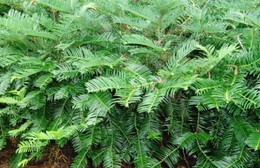 Cephalotaxus, or 'plum yew'--excellent in the shady border, but give it room