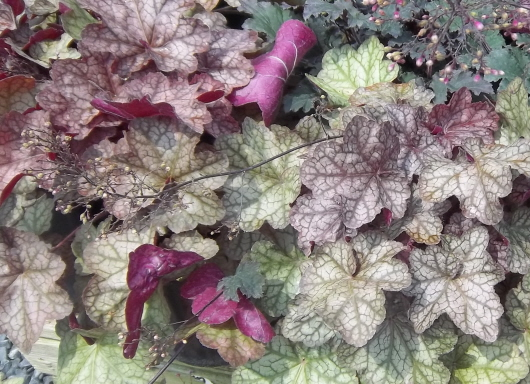 heuchera, 'coral bells'--don't worry, nobody else knows how to pronounce it, either.