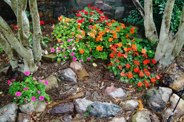 Spots of color are easy with impatiens