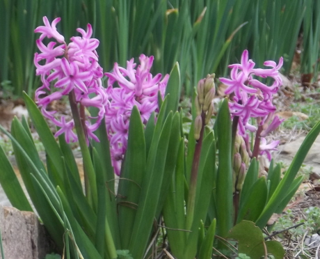 hyacinths, daffodils, and a number of other spring blooming bulbs will enjoy the shade garden