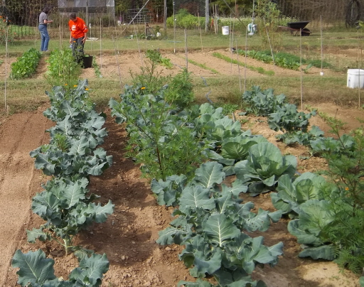 Cotton in Alabama, a Flagpole, and a Fall VegetableGarden (6/6)