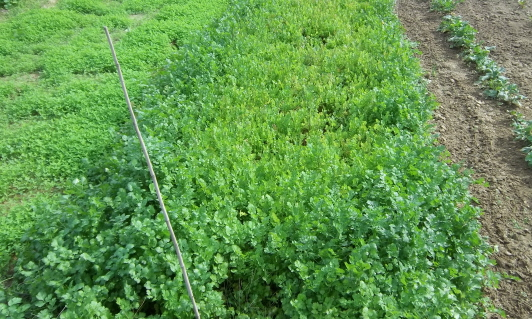 cover crop to be plowed in for soil enrichment