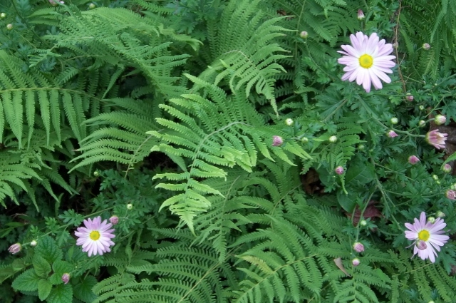I love the way these mums poke their heads up through the ferns.