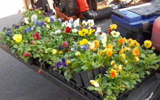 available pansies on the pick up truck tailgate.