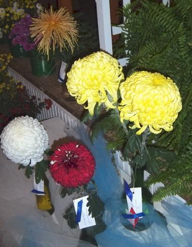 More Chrysanthemum prize winning flowers