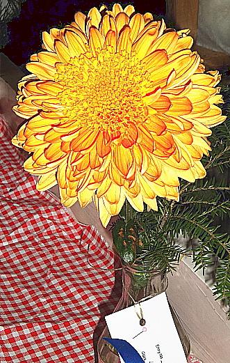 Chrysanthemum flowers grown for show