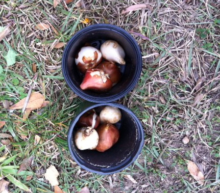 tulip bulbs to go among the pansies.